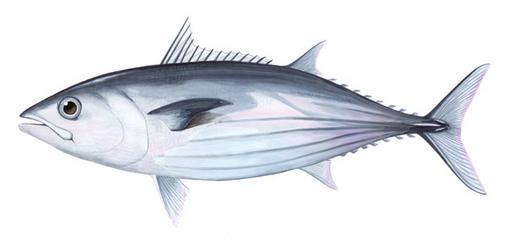 ikan-cakalang