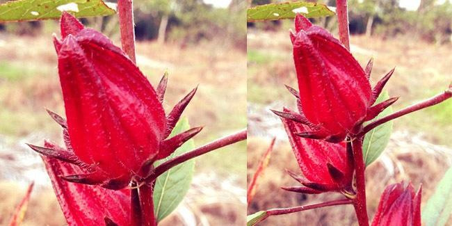 menghilangkan-nikotin-dalam-tubuh-dengan-menggunakan-bunga-rosella