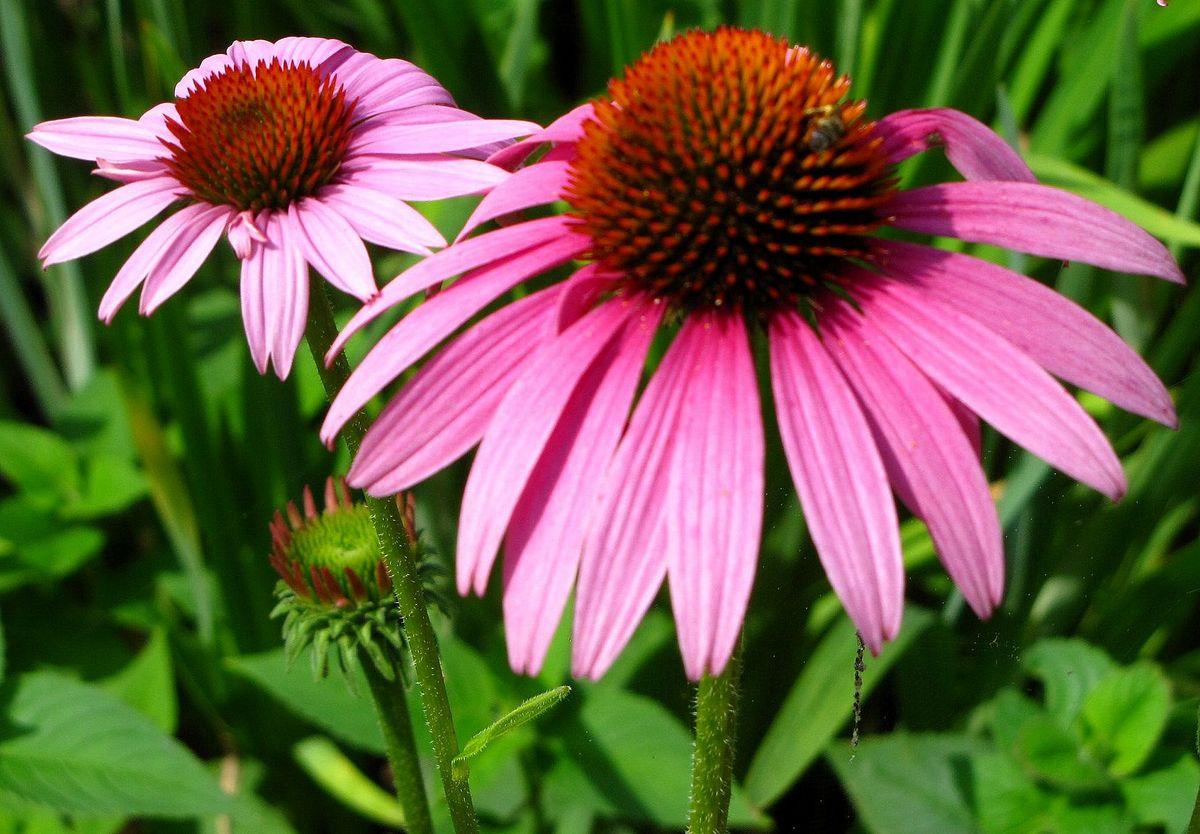Echinacea_Prairie_Splendor
