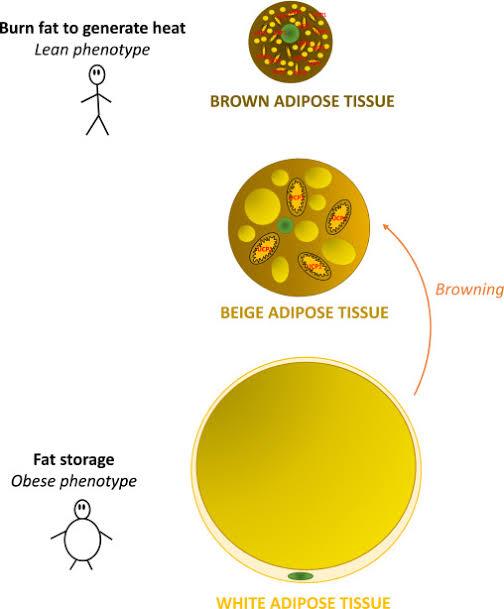 lemak tubuh dan peran pentingnya bagi kesehatan